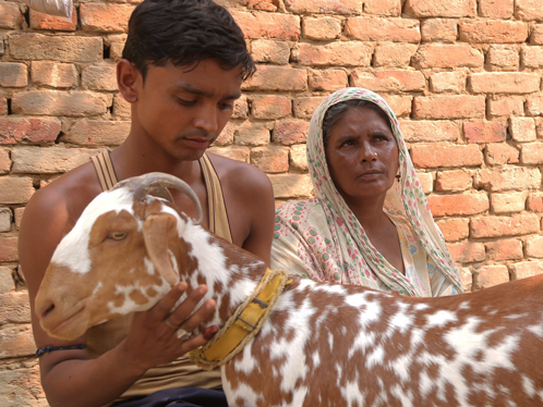 Vaccinating a goat