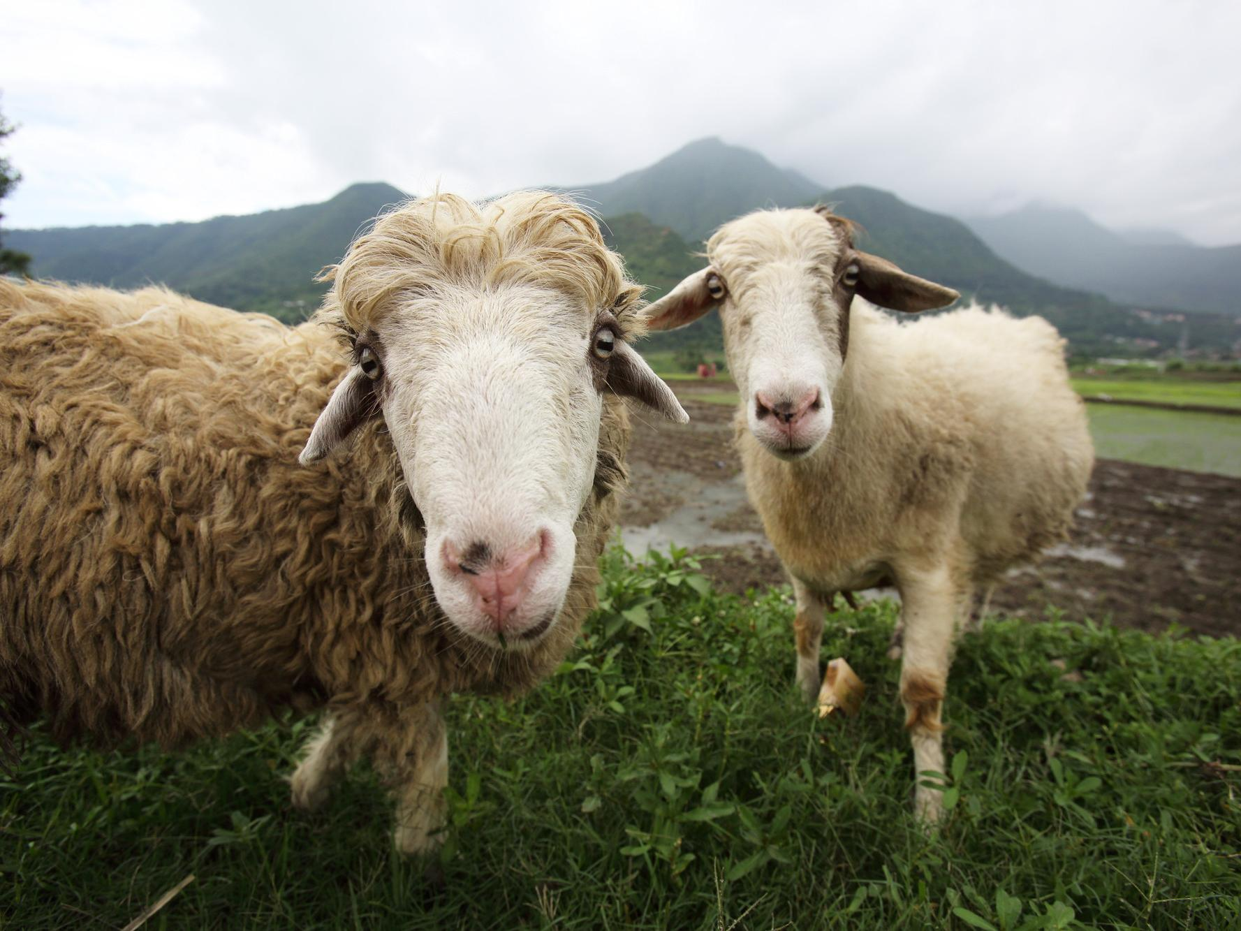 Sheep, Kirtipur, Kathmandu Valley, Nepal. Photo: J. Holmes (IWMI)
