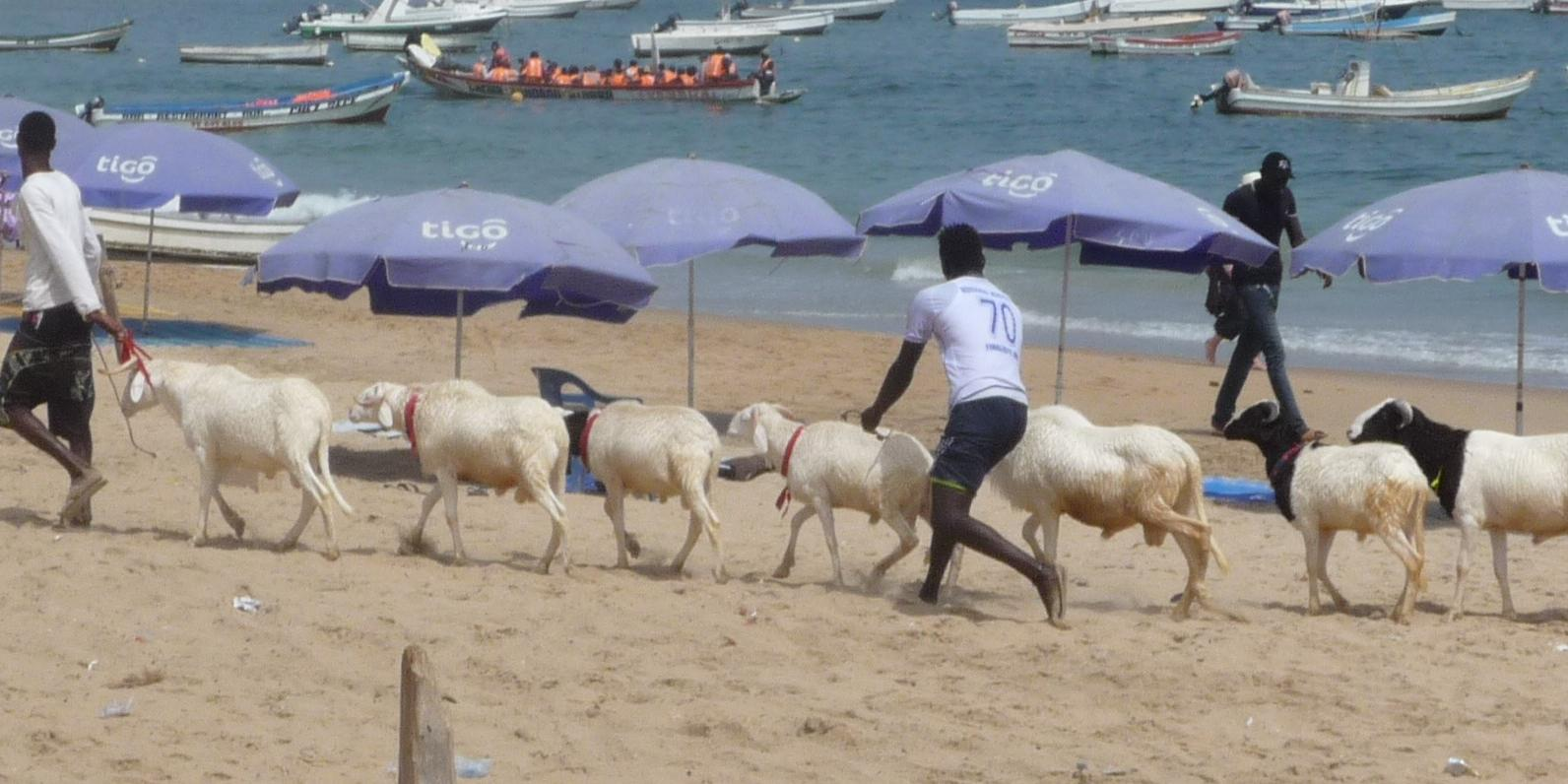 Sheep on the beach